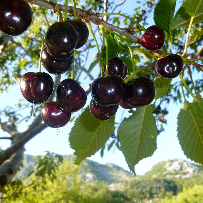 Visnja (sour cherries), Konavle, Dalmacija