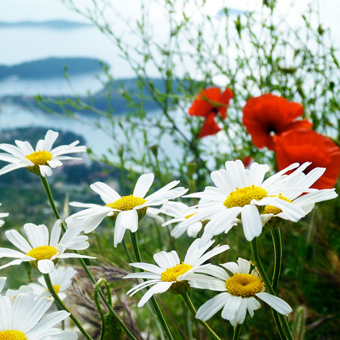 Dalmatian wildflowers