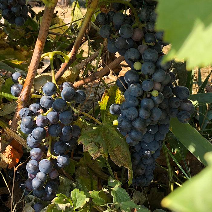Wine grapes, Kastav, Istra-Kvarner